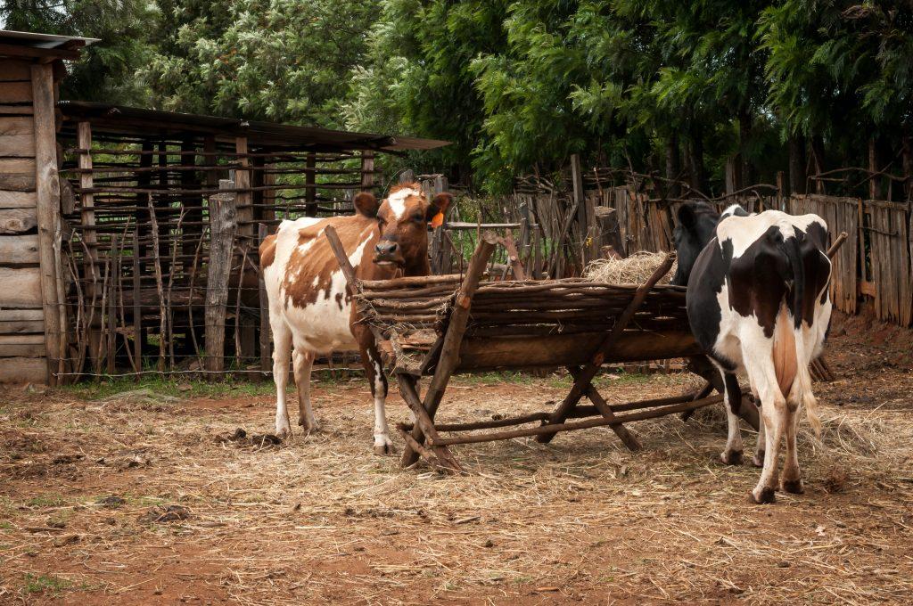 Regina Muruira - Meru (Dairy Farming)